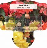 Begonia Trailing Mixed