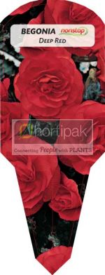 Begonia Nonstop Deep Red