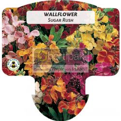 Wallflower Sugar Rush