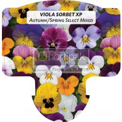 Viola Sorbet XP Autumn/Spring Select