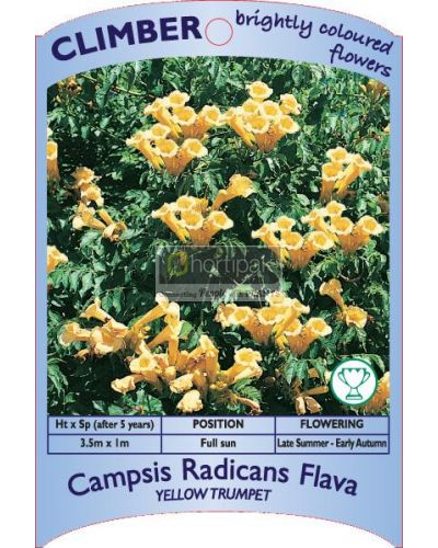 Campsis radicans flava 'Yellow Trumpet'