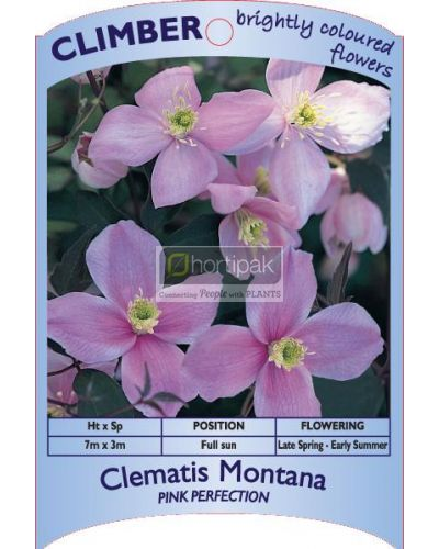 Clematis montana Pink Perfection