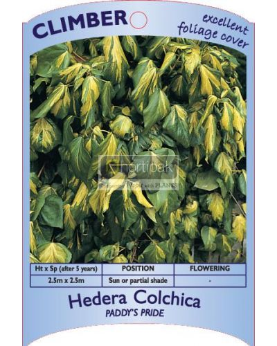 Hedera Paddy's Pride
