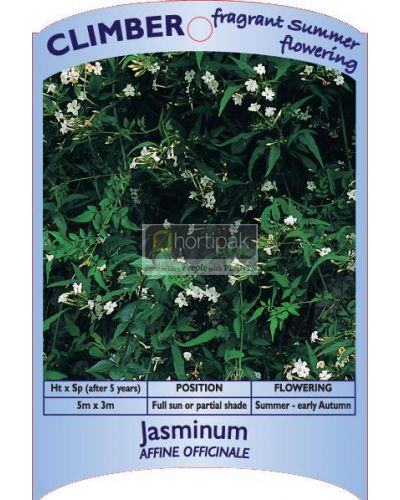 Jasminum affine officinale