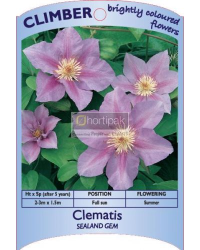 Clematis Sealand Gem