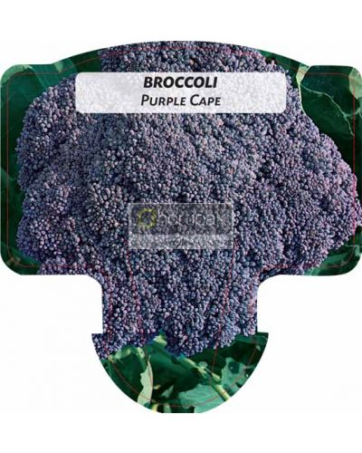 Broccoli Purple Cape
