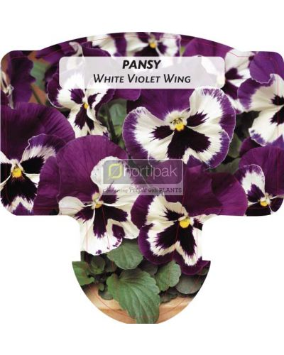 Pansy White with Violet Wing