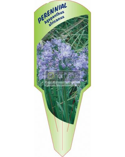 Agapanthus africanus [African Lily]