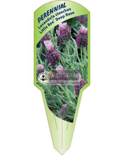 Lavandula stoechas Little Bee Deep Rose