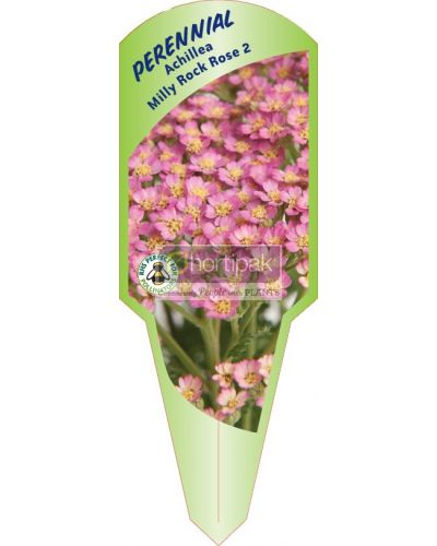 Achillea Milly Rock Rose 2