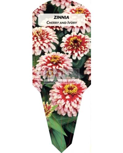 Zinnia Cherry and Ivory