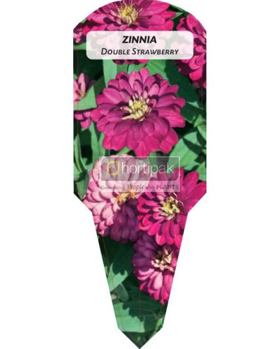 Zinnia Double Strawberry
