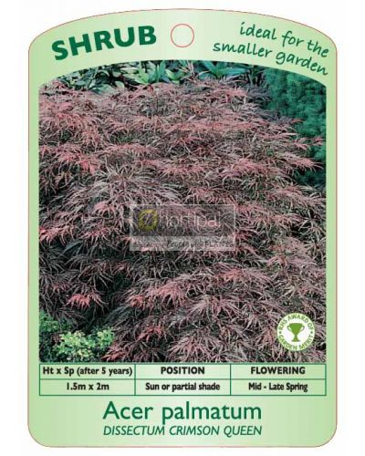 Acer palmatum Crimson Queen