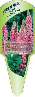 Lupin Gallery Pink