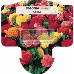 Begonia Nonstop Mixed