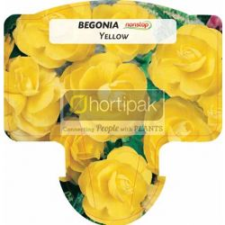 Begonia Nonstop Yellow