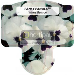 Pansy Panola ™ White Blotch