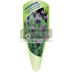 Lavandula stoechas Little Bee Purple