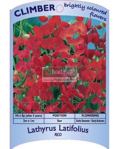 Lathyrus latifolius Red