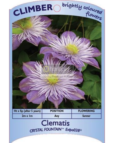 Clematis Crystal Fountain Regal
