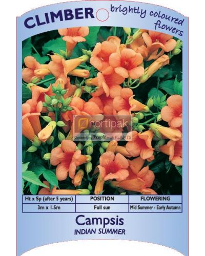 Campsis radicans Indian Summer