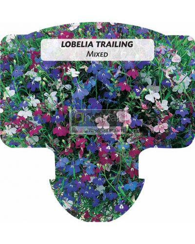 Lobelia Trailing Mixed