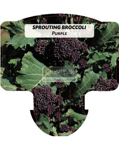 Broccoli Purple Sprouting