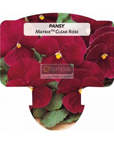 Pansy Matrix Rose
