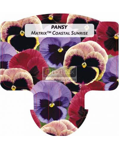 Pansy Matrix Coastal Sunrise