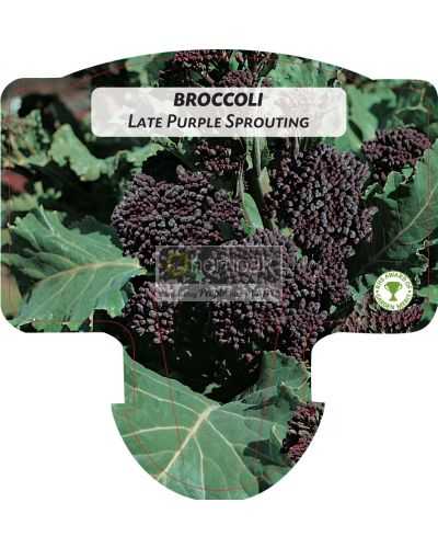 Broccoli Late Purple Sprouting