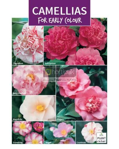 HTA Plant of the Moment February Camellias for Early Colour Poster