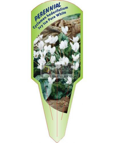 Cyclamen hederifolium Ivy Ice Pure White