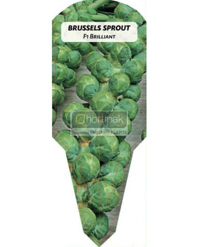 Brussels Sprout Brilliant