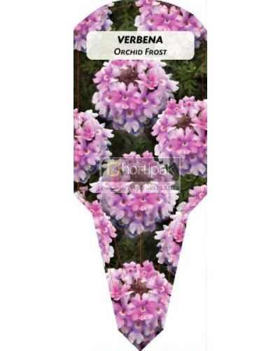 Verbena Orchid Frost