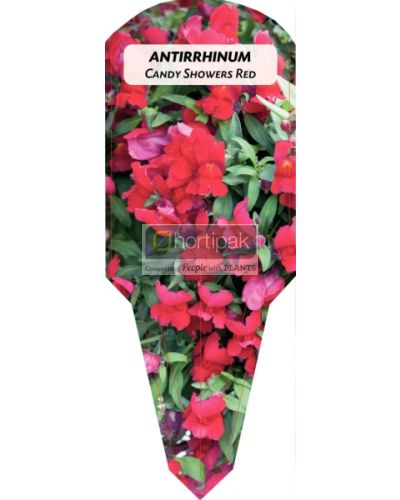 Antirrhinum Candy Showers Red