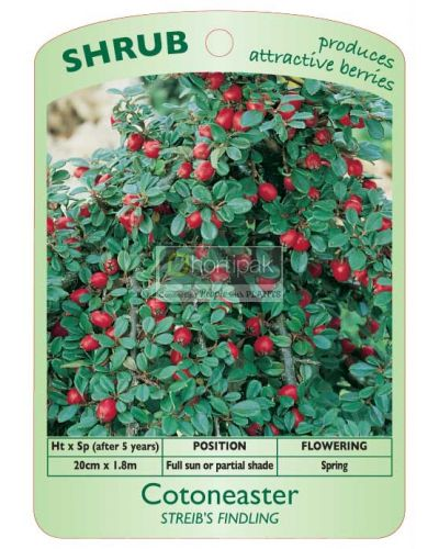 Cotoneaster Streib's Findling